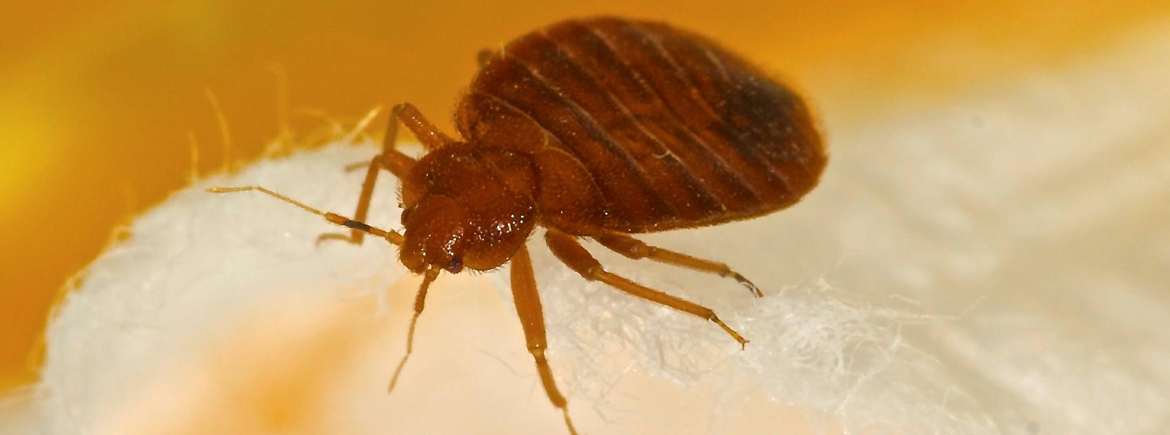 Bedbug problem