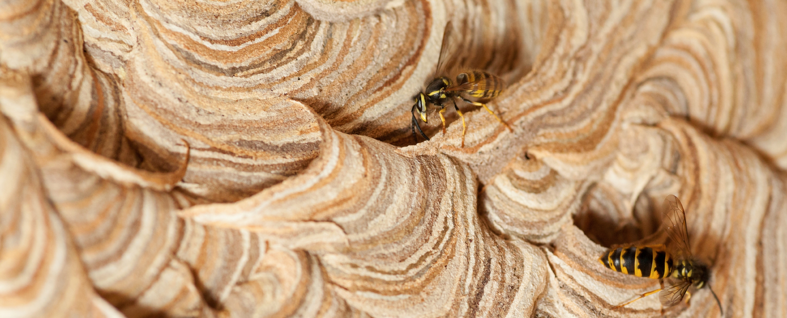 Wasp Nest Removal. Wasp nest removal in Berkshire