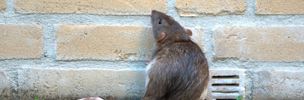 pest control rat cropped