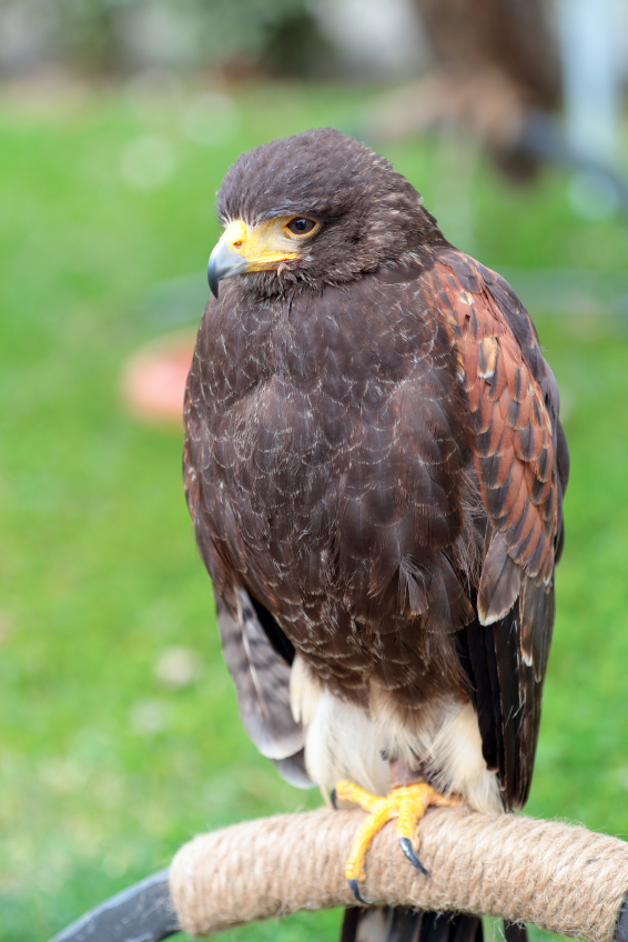 Harris hawk pest control